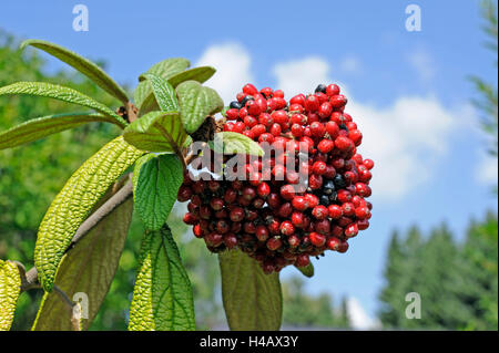 The red fruits of the leatherleaf viburnum, Viburnum rhytidophyllum, staining black later - Stock Photo