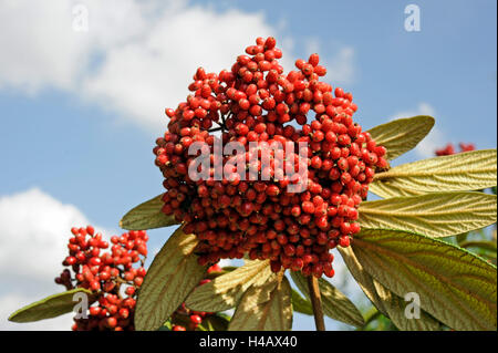 The red fruits of the leatherleaf viburnum, Viburnum rhytidophyllum, staining black later - Stock Photo