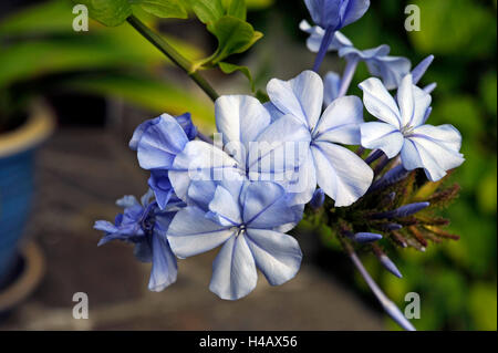 Pale blue blossoming leadwort or Plumbago as a potted plant on summer terrace - Stock Photo
