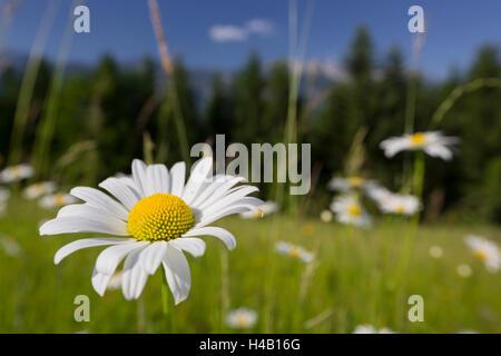 Oxeye daisy (Leucanthemum vulgare), flower meadow, near Windischgarsten, Upper Austria - Stock Photo