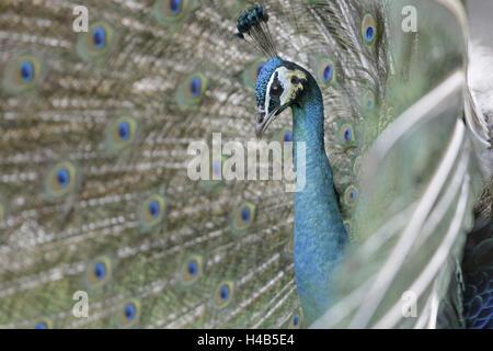 Blue peacock, Pavo cristatus, tread, little man, animal portrait, animal, zoo, zoo animal, bird, ave, gallinaceous - Stock Photo