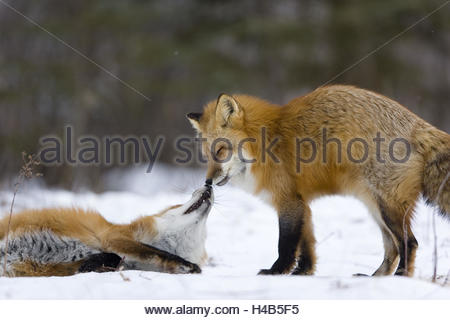 Red foxes, Vulpes vulpes, two, social behaviour, - Stock Photo