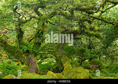 Gnarled lichen covered stunted oak trees growing in Wistman's Wood, Dartmoor National Park, Devon, England. - Stock Photo