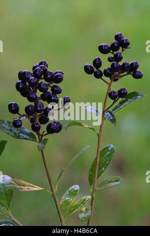 Privet, berries, medium close-up, - Stock Photo