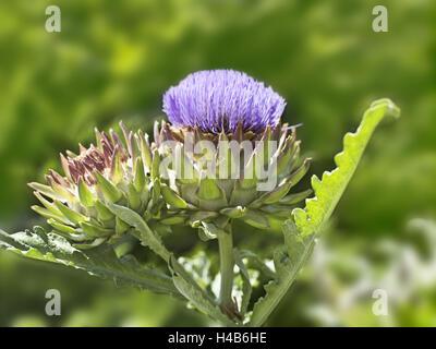 Garden, artichokes, Cynara scolymus, inflorescences, blossom, - Stock Photo