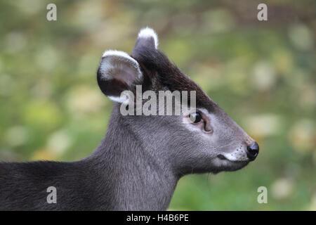 Shock hair deer stands on meadow, - Stock Photo