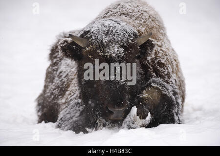 American bison, bison bison, young animal in winter, - Stock Photo