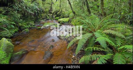 Wood, ferns, moss, brook, Fiordland National Park, Southland, south Island, New Zealand - Stock Photo
