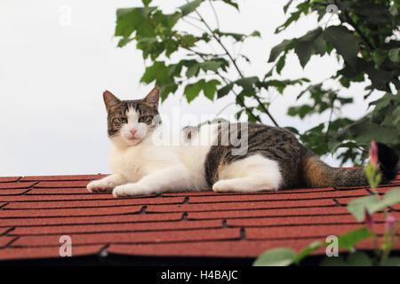 House cat, Felis silvestris catus, roof, lying