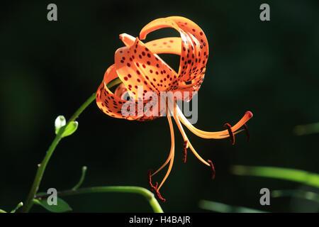 Turk's cap lily, Lilium martagon - Stock Photo