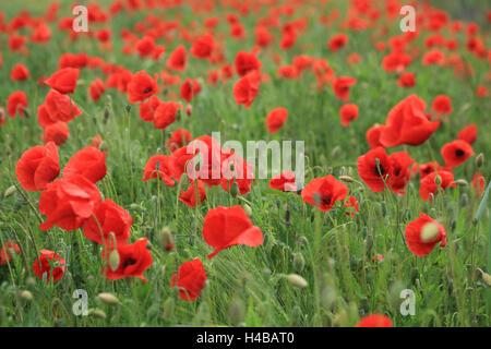 Poppy field, Papaver rhoeas - Stock Photo