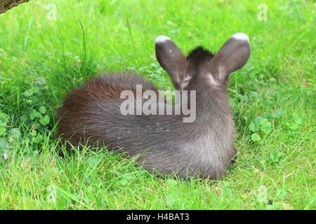 Tufted deer, young animal, Elaphodus cephalophus - Stock Photo