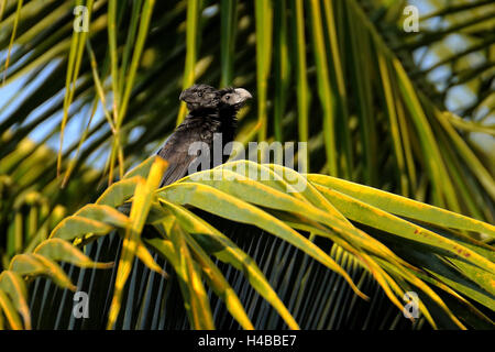Groove-billed ani (crotophaga sulcirostris), two-headed animal, peculiar, Corozal District, Belize - Stock Photo