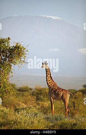Giraffe (Giraffa camelopardalis), with Mount Kilimanjaro, Amboseli National Park, Kajiado County, Kenya - Stock Photo