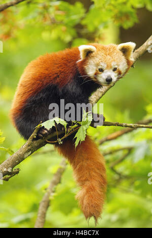 Red Panda (Ailurus fulgens) sitting in tree, captive - Stock Photo
