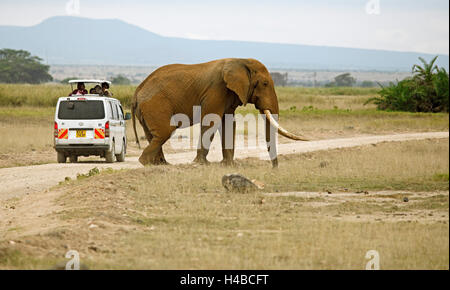 African Elephant (Loxodonta africana), crossing a road, tourists in safari bus watching the elephant, Amboseli National - Stock Photo