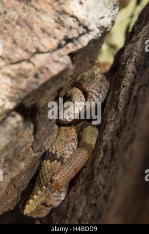 Male Banded Rock Rattlesnake, (Crotalus lepidus klauberi), Magdalena mountains, New Mexico, USA. - Stock Photo