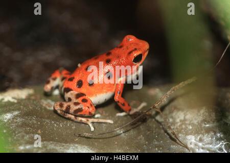 Strawberry poison-dart frog Dendrobates pumilio - Stock Photo