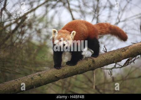 Red panda running on trunk, Ailurus fulgens - Stock Photo