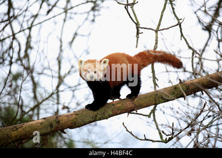 Red panda running on trunk, Ailurus fulgens - Stock Photo