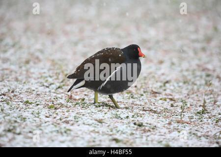 Common moorhen in the driving snow Gallinula chloropus - Stock Photo