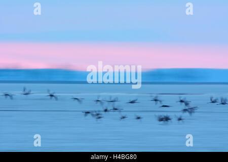 Common Cranes, Grus grus, in Flight, at Dawn, Zingst, Barther Bodden, Darss, Fischland-Darss-Zingst, Western Pomerania, - Stock Photo