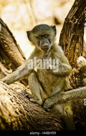 Africa, East Africa, Tanzania, Lake Manyara National Park, animal, baboon, - Stock Photo