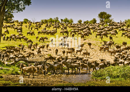 Africa, East Africa, Tanzania, Serengeti, wildlife, gnus, - Stock Photo