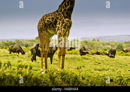Africa, Tanzania, East Africa, Mt. Meru, Arusha National Park, buffalo, giraffe, - Stock Photo