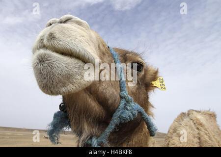 Africa, Morocco, Merzouga, Erg Chebbi, Sahara, camel, close-up, - Stock Photo