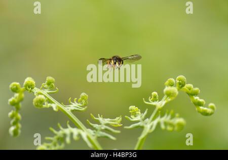 European wool carder bee, Anthidium manicatum, in flight - Stock Photo