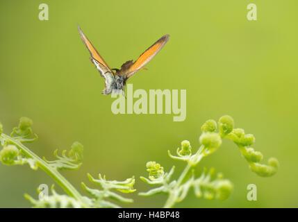 Chestnut Heath, Coenonympha glycerion, in flight - Stock Photo