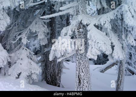 Harz National Park, Lower Saxony, winter, spruces at the Brocken - Stock Photo