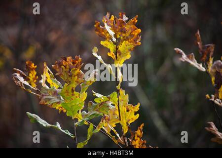 Oak leaf in autumn - Stock Photo
