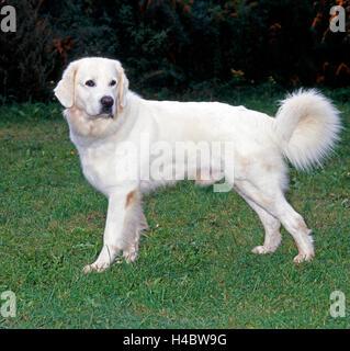 Tatra Mountain sheepdog, also Polish Tatra Sheepdog, earlier a sheepdog, today watchdog and family dog, - Stock Photo