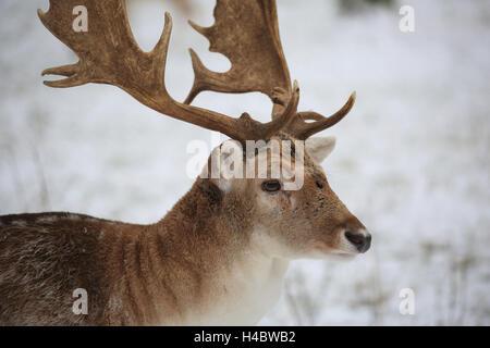 Fallow deer, Dama dama - Stock Photo