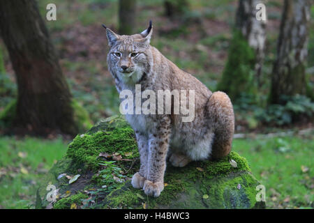 European lynx, Felis lynx lynx - Stock Photo