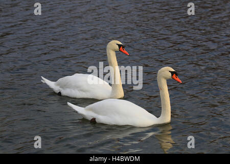 Mute swan couple at the Altrhein Cygnus olor - Stock Photo