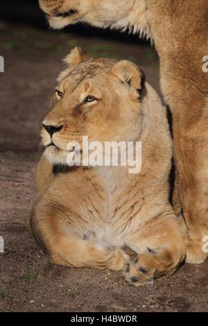 Indian lion Panthera leo persica goojratensis - Stock Photo