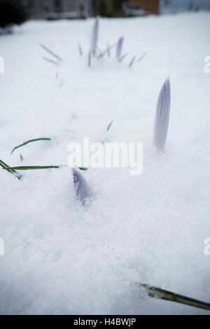 Crocuses in the snow - Stock Photo