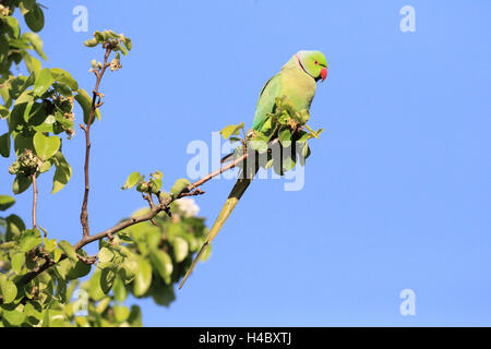 Rose-ringed parakeet, Psittacula krameri - Stock Photo