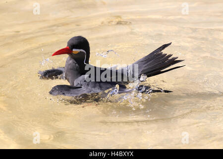 Inca tern bathing Larosterna inca - Stock Photo
