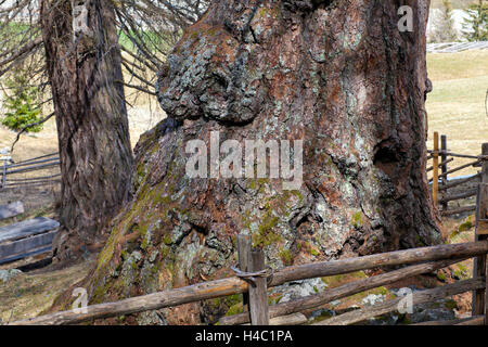 Centuries old larches - Stock Photo