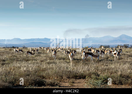 A field full of Springboks with burning valley in the background. - Stock Photo