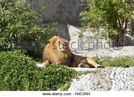 Male lion (Panthera leo) in Warsaw Zoo enclosure Poland Europe - Stock Photo