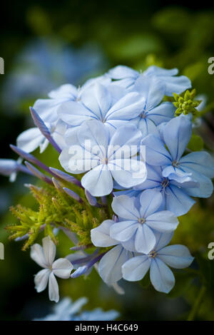 Plumbago auriculata ('Cape leadwort') - Stock Photo