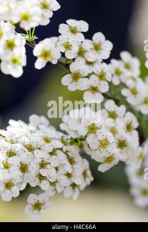 Spiraea 'Arguta' - Stock Photo