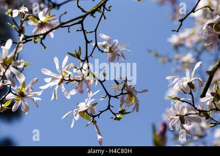Magnolia x loebneri 'Leonard Messel' - Stock Photo