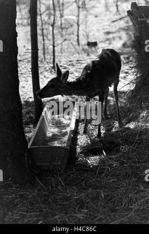 Reh an der Futterstelle im Wald, Deutschland 1930er Jahre. Deer at feeding ground, Germany 1930s - Stock Photo