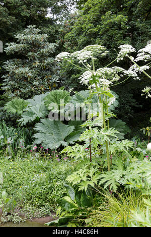Heracleum mantegazzianum (giant hogweed, cartwheel-flower, giant cow parsnip, hogsbane or giant cow parsley) - Stock Photo